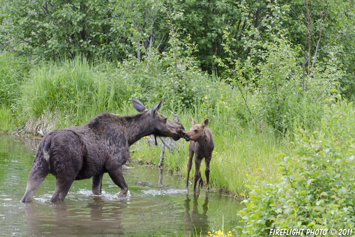 wildlife;Cow Moose;Moose;Alces alces;Pond;Cow;Calf;Kiss;Grand Teton NP;WY;Wyoming