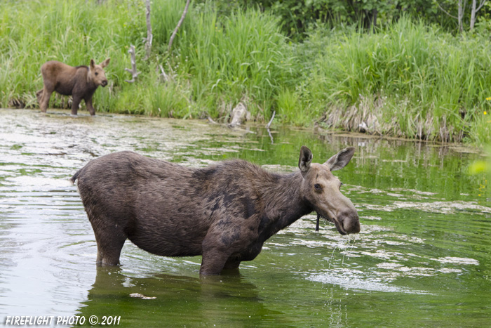 wildlife;Cow Moose;Moose;Alces alces;Pond;Cow;Calf;Grand Teton NP;WY;Wyoming;D7000