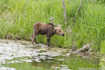 wildlife;Cow-Moose;Moose;Alces-alces;Pond;Cow;Calf;Grand-Teton-NP;WY;Wyoming;D7000