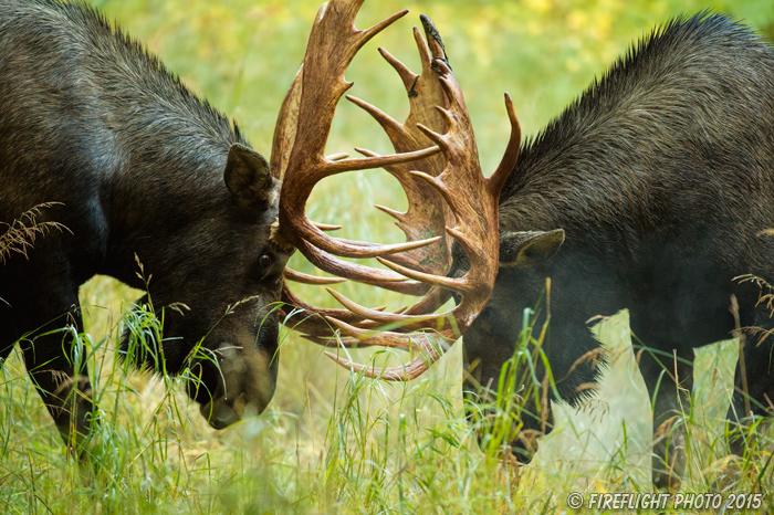wildlife;Bull Moose;Moose;fight;sparring;Alces alces;Anchorage;Alaska;AK;D4s;2015