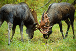 wildlife;Bull-Moose;Moose;fight;sparring;Alces-alces;Anchorage;Alaska;AK;D4s;2015