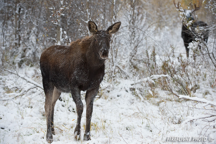 wildlife;Calf;Bull Moose;Moose;Alces alces;Snake River;snow;Grand Teton;WY;D4;2013