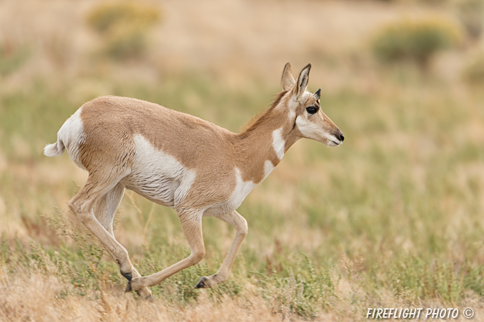 wildlife;pronghorn;Antilocapra americana;yellowstone;buck;running;Wyoming;D4