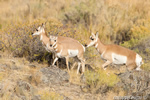 wildlife;pronghorn;Antilocapra-americana;yellowstone;grazing;Wyoming;D4