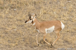 wildlife;pronghorn;Antilocapra-americana;yellowstone;buck;running;Wyoming;D4