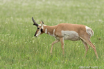 wildlife;pronghorn;Antilocapra-americana;yellowstone;buck;grazing;Wyoming;D4