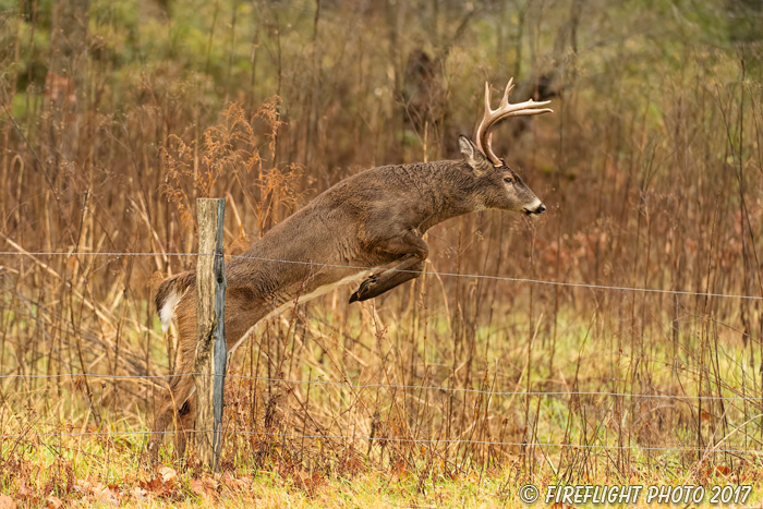 wildlife;Whitetail;Deer;Buck;jump;fence;Odocoileus virginianus;Tennessee;TN;D5;2016