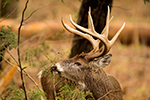 wildlife;Whitetail;Deer;Odocoileus-virginianus;Cades-Cove;Tennessee;TN;D4s;2015