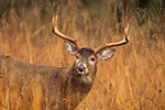 wildlife;Whitetail;Deer;Odocoileus-virginianus;rain;field;Tennessee;TN;D4s;2015
