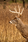 wildlife;Whitetail;Deer;Odocoileus-virginianus;Grass;Field;headshot;Tennessee;TN;D4s;2015