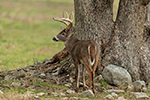 wildlife;Whitetail;Deer;Buck;Odocoileus-virginianus;Tennessee;TN;D5;2016