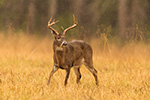 wildlife;Whitetail;Deer;Buck;Odocoileus-virginianus;grass;rain;Tennessee;TN;D5;2016