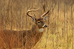 wildlife;Whitetail;Deer;Buck;brush;Odocoileus-virginianus;Tennessee;TN;D5;2016