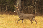 wildlife;Whitetail;Deer;Odocoileus-virginianus;field;grass;Tennessee;TN;D5;2016
