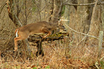 wildlife;Whitetail;Deer;Buck;jump;fence;Odocoileus-virginianus;Tennessee;TN;D5;2016