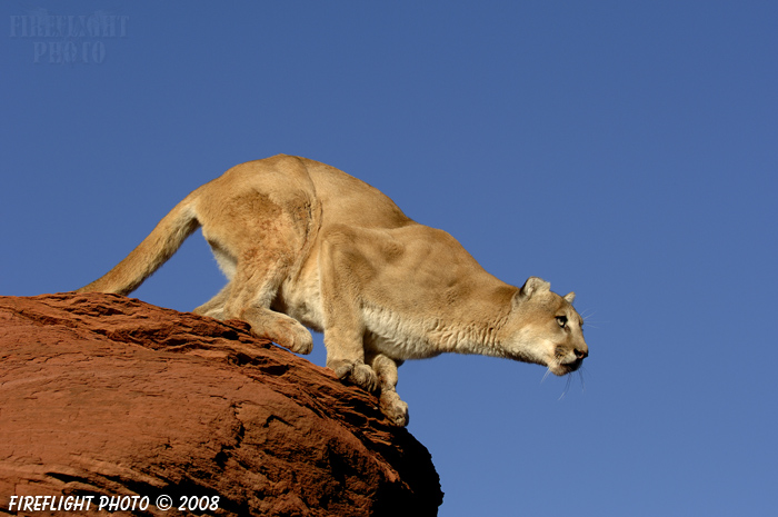 wildlife;Cougar;mountain lion;Felis concolor;wild cat;feline;UTAH;cat;puma