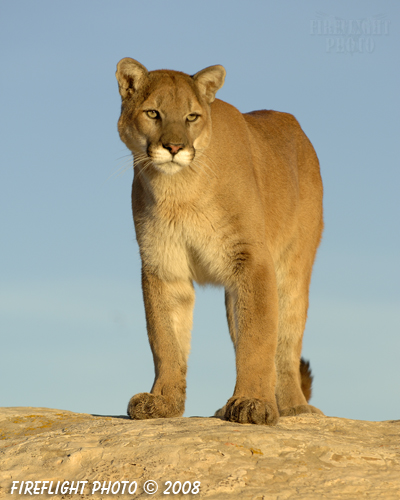 wildlife;Cougar;mountain lion;Felis concolor;wild cat;feline;UTAH;cat;puma;sunset
