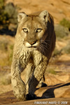 wildlife;Cougar;mountain-lion;Felis-concolor;wild-cat;feline;UTAH;cat;puma