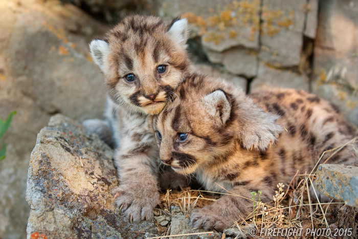 wildlife;wild cat;cougar;mountain lion;cougar cub;kitten;baby;Puma concolor;Montana