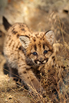 wildlife;wild-cat;cougar;mountain-lion;cougar-cub;kitten;baby;Puma-concolor;Montana