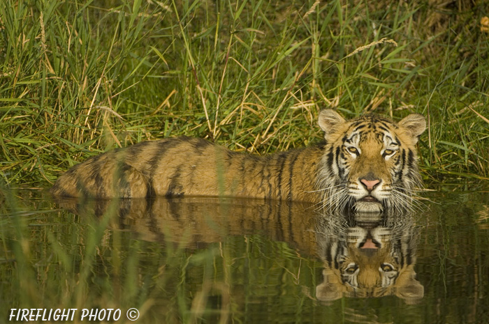wildlife;Siberian Tiger;Tiger;Panthera tigris altaica;Pond;Reflection;Grass;DDD;Triple D