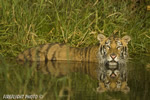 wildlife;Siberian-Tiger;Tiger;Panthera-tigris-altaica;Pond;Reflection;Grass;DDD;Triple-D