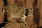 wildlife;bobcat;Lynx-rufus;wild-cat;feline;UTAH;Moab;red-rock;cat