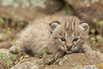 wildlife;bobcat;Lynx-rufus;wild-cat;feline;Montana;kitten;head-shot;AOM