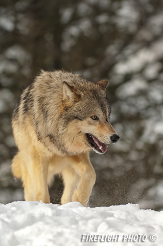 wildlife;Wolf;Wolves;Canis lupus;Gray Wolf;Timber Wolf;Montana;AOM