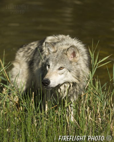 wildlife;Wolf;Wolves;Canis lupus;Gray Wolf;Timber Wolf;Montana;DDD;Pond;Grass