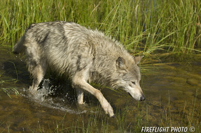 wildlife;Wolf;Wolves;Canis lupus;Gray Wolf;Timber Wolf;Montana;DDD;Creek;Grass