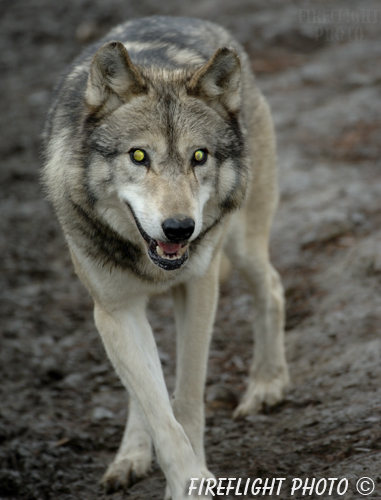 wildlife;Wolf;Wolves;Canis lupus;Gray Wolf;Timber Wolf;Canada;Glowing Eyes