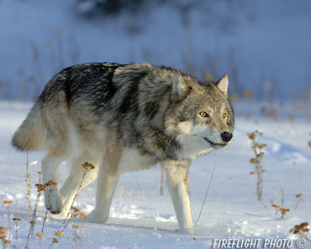 wildlife;Wolf;Wolves;Canis lupus;Gray Wolf;Timber Wolf;MOAB;UTAH;AOM;Snow