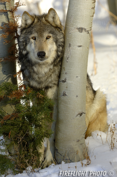wildlife;Wolf;Wolves;Canis lupus;Gray Wolf;Timber Wolf;MOAB;UTAH;AOM;Snow;Aspen Trees