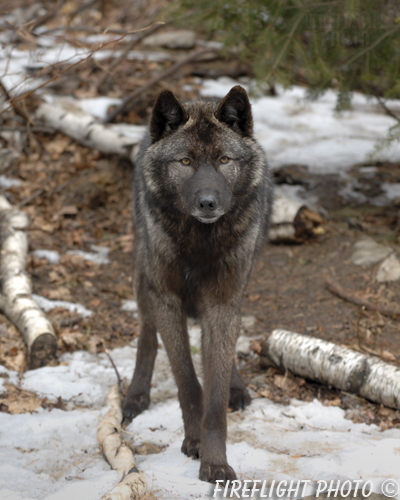 wildlife;Wolf;Wolves;Canis lupus;Gray Wolf;Timber Wolf;New Jersey;Lakota Wolf Preserve;Snow