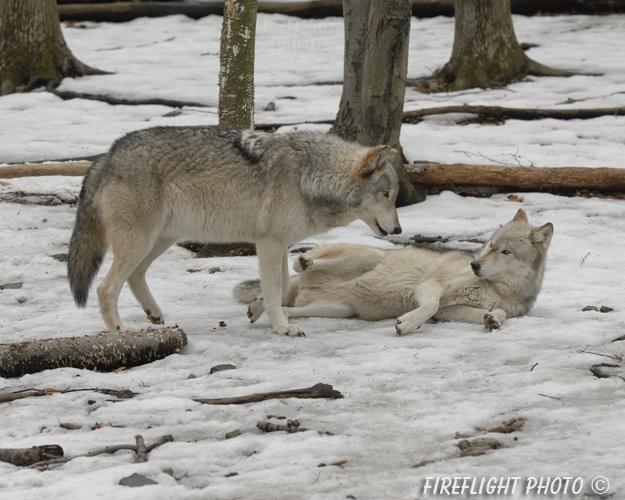 wildlife;Wolf;Wolves;Canis lupus;Gray Wolf;Timber Wolf;New Jersey;Lakota Wolf Preserve;Snow;Dominance