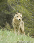 wildlife;Wolf;Wolves;Canis-lupus;Gray-Wolf;Timber-Wolf;Montana;AOM