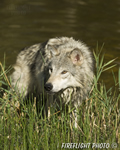 wildlife;Wolf;Wolves;Canis-lupus;Gray-Wolf;Timber-Wolf;Montana;DDD;Pond;Grass