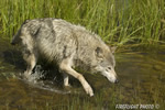wildlife;Wolf;Wolves;Canis-lupus;Gray-Wolf;Timber-Wolf;Montana;DDD;Creek;Grass