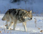 wildlife;Wolf;Wolves;Canis-lupus;Gray-Wolf;Timber-Wolf;MOAB;UTAH;AOM;Snow
