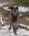 wildlife;Wolf;Wolves;Canis-lupus;Gray-Wolf;Timber-Wolf;New-Jersey;Lakota-Wolf-Preserve;Snow