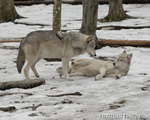 wildlife;Wolf;Wolves;Canis-lupus;Gray-Wolf;Timber-Wolf;New-Jersey;Lakota-Wolf-Preserve;Snow;Dominance