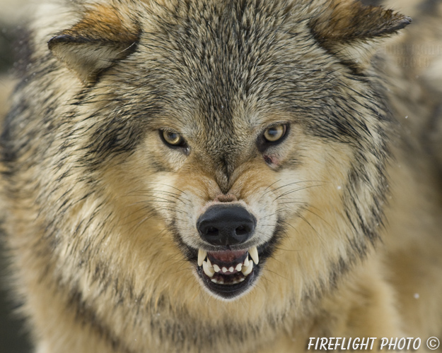 wildlife;Wolf;Wolves;Canis lupus;Gray Wolf;Timber Wolf;Montana;AOM;Head Shot;Snarling;Growling