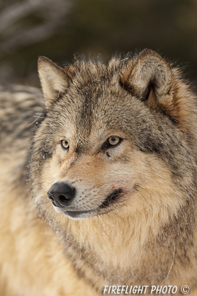 wildlife;Wolf;Wolves;Canis lupus;Gray Wolf;Timber Wolf;Montana;AOM;Head Shot