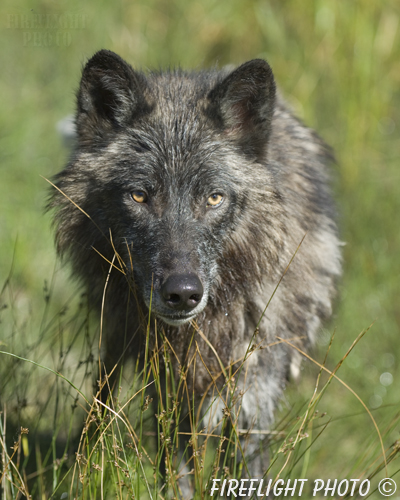 wildlife;Wolf;Wolves;Canis lupus;Gray Wolf;Timber Wolf;Montana;DDD;Head Shot