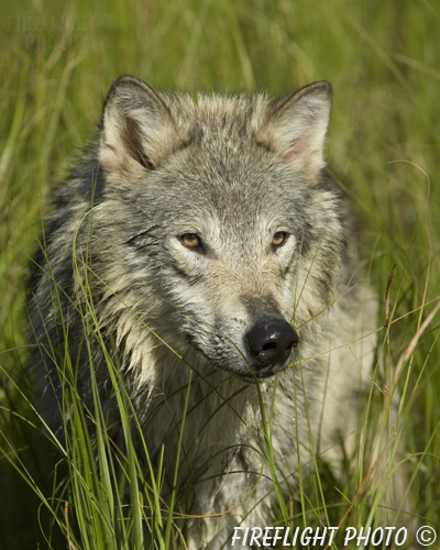 wildlife;Wolf;Wolves;Canis lupus;Gray Wolf;Timber Wolf;Montana;DDD;Head Shot;Grass