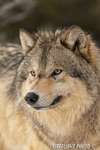 wildlife;Wolf;Wolves;Canis-lupus;Gray-Wolf;Timber-Wolf;Montana;AOM;Head-Shot
