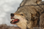 wildlife;Wolf;Wolves;Canis-lupus;Gray-Wolf;Timber-Wolf;Montana;AOM;Head-Shot;Snarling;Growling