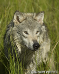 wildlife;Wolf;Wolves;Canis-lupus;Gray-Wolf;Timber-Wolf;Montana;DDD;Head-Shot;Grass