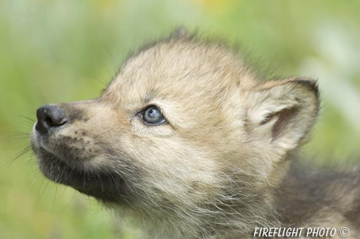 wildlife;Wolf;Wolves;Canis lupus;Gray Wolf;Timber Wolf;Pup;Head Shot;Montana;AOM